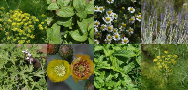 709-aromatic plants and herbs
