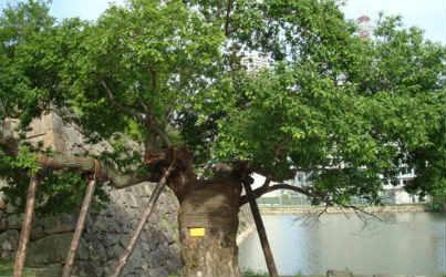 hiroshima-survival-tree-2