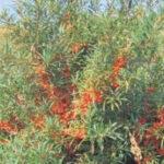Ἱπποφαές. Τὸ ἀρχαῖον Ἑλληνικὸ φυτό ποὺ ἔφερνε... θαύματα!