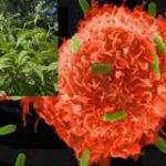 Θεραπεία καρκίνου: ποιο φυτό σκοτώνει τον καρκίνο