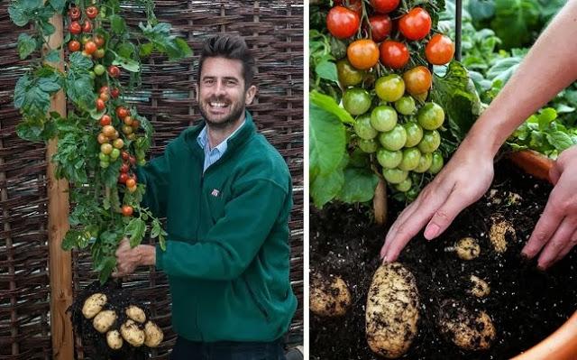 Ιδού η ντομ-τάτα, φυτό δύο σε ένα