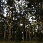 Εντόπισαν χρυσό σε φύλλα ευκαλύπτων της Αυστραλίας